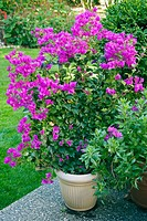 Bougainvillea in container at edge of patio; lawn bkgnd (Bougainvillea cv.). Beebe, Blaine, WA.