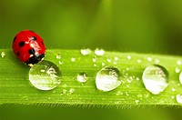 Ladybird (Coccinella septempunctata) and dew drops