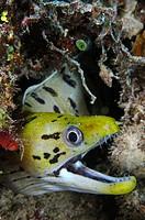 Banded moray eel (Gymnothorax rueppellii). Mabul Island, Malaysia. Celebes Sea.