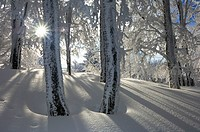 Snow covered trees in forest with sun as a back_lighting. Black Forest, Baden_Wuerttemberg (Baden_Wurttemberg), Germany, Europe.