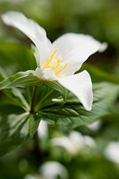 White Trillium blossom & foliage w/ blur effect (Trillium grandiflorum). VanDusen, Vancouver, BC.