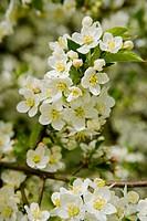 Sargent´s Crabapple blossoms (Malus sargentii). VanDusen, Vancouver, BC.