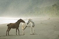 In the rain forest Wild Horses on the foggy beach interacting or playing. Dark brown and white horses. Osa Peninsula, Costa Rica
