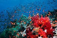 Reef scenery with Lyretail anthias or Goldies (pseudanthias squamipinnis).  Red Sea, Egypt.
