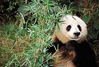 Panda bear in captivity at the panda reserve in Sechuan, province of China.
