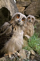 Buhos Reales, Eagle owls (Bubo bubo). Young owls after leaving nest. Northern Spain.