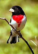 A rosebreasted grosbeak (pheucticus ludovicianus), gives a sideways glance, Pennsylvania, USA.