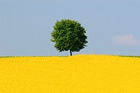 Rape, Brassica napus, Raps, tree standing in field of Rape, spring time, spring, Uster, Zuercher Oberland, Zuerich, Switzerland