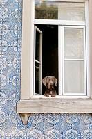 Dog at window, Lisbon. Portugal