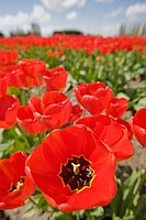 ´Apeldoorn´ Tulips in farm field, close wide_angle view (Tulipa ´Apeldoorn´). Mt. Vernon, WA.