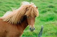 Icelandic horse. Countryside near Höfn. Iceland.