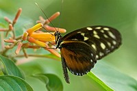 Tiger longwing butterfly native to Central and South America.