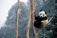 Giant Panda (Ailuropoda melanoleuca).  Wolong National Natural Reserve. China.