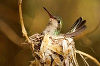 Nesting female Hummingbird, Arizona, USA