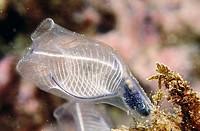 Tunicate (Clavelina dellavallei). Mediterranean Sea