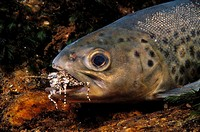 Sea Trout (Salmo trutta trutta) catching grasshopper. Galicia, Spain