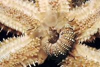 Starfish (Marthasterias glacialis) devouring sea urchin. Ria of Vigo, Pontevedra province, Galicia, Spain