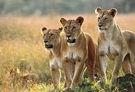 Three lionesses (Panthera leo). Masai Mara Game Reserve, Kenya