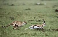 Cheetah (Acinonyx jubatus) catching Thomson´s Gazelle (Gazella thomsoni). Masai Mara Game Reserve, Kenya