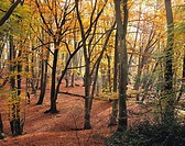 Beech trees in autumn, Epping Forest. Essex, England, UK
