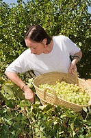 Lady collecting her own organically produced grapes in Andalusia, Spain