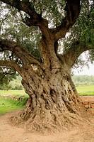 ´La Morruda´millennial olive tree. Segorbe, Castellón. Comundiad Valenciana. Spain.
