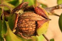 Nut in walnut tree (Juglans regia).