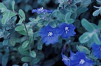 Blue Daze (Evolvulus glomerata)