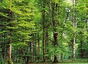 Beechwood (Fagus sylvatica). Irati forest, Navarra, Spain