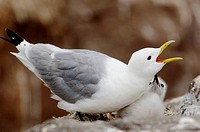 Kittiwake protecting chick, Farne Islands, England, UK