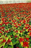 Poinsettias in a greenhouse. Reus, Tarragona province, Catalonia, Spain