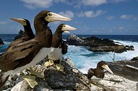 Brown boobies, Sula leucogaster, and bay,  St. Peter and St. Paul´s rocks, Brazil, Atlantic Ocean