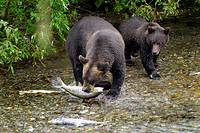 Black Bear catching and eating Salmon at Fish Creek Wildlife Observation Site Tongass National Forest near Hyder Alaska AK US United States nature ani...