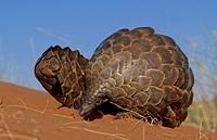 Pangolin, Manus temminickii, Kgalagadi Transfrontier Park, Kalahari, South Africa