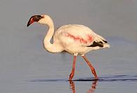 Lesser Flamingo, Phoenicopterus minor, Gauteng, South Africa