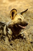 Wild Dog Cape Hunting Dog, Lycaon pictus, Kruger National Park, South Africa