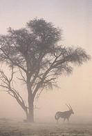 Global Warming, Sandstorm and Gemsbok oryx at 40C temperatures, Kgalagadi Transfrontier Park, South Africa