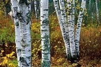 Paper birch trunks (Betula papyrifera), Gooseberry Falls State Park, Minnesota, USA