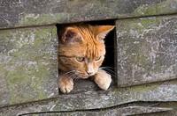 Ginger cat looking through cat hole. UK.