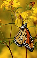 A monarch butterfly searches for nectar in a yellow flower, Pennsylvania, USA