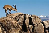 Spanish Ibex (Capra pyrenaica), male. Sierra de Gredos, Avila province, Castilla-Leon, Spain