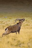 Spanish Ibex. Sierra de Gredos, Spain