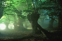 Forest in mist. Galicia, Spain