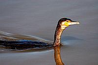 Great Cormorant (Phalacrocorax carbo). Llobregat river delta, Barcelona province, Catalonia, Spain