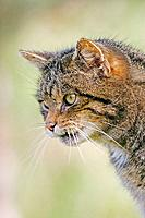 Scottish Wildcat Felis silvestris