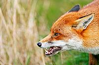 Red fox Vulpes vulpes baring its teeth