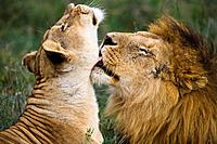 Lion and Lioness (Panthera leo) in the Serengeti National Park in Tanzania, Africa