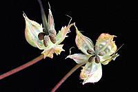 Herb Robert (Geranium robertianum) fruits
