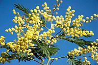 Silver Wattle (Acacia dealbata) flowers, Mount Artxanda, Bilbao. Biscay, Euskadi, Spain
