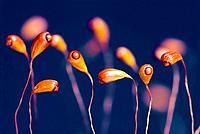 Young sporophytes of moss. Gorbeia Natural Park, Euskadi, Spain